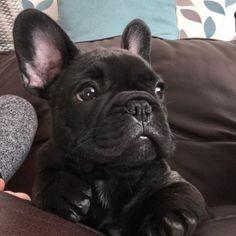 Albert, the French Bulldog Puppy