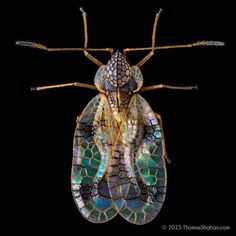 Thomas Shahan | What a beautiful pest! Here's the Azalea lace bug, Stephanitis pyrioides