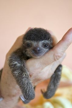 Three toed sloth baby
