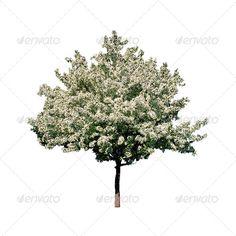 Isolated Cherry-tree 1 on White Background