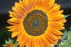 Yenni Ranch  Sunflowers