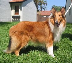 Collie Dog Breed Pictures, 3