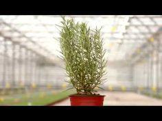FreshHerbs - Rozmaring Cactus Plants, Garden, Garten, Cacti, Lawn And Garden, Cactus, Gardens, Gardening, Outdoor