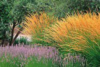 Saxonholt.com - Ornamental flowering bunch grass (Calamagrostis acutifolia) in…