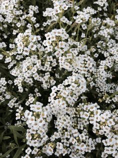 Itsy Bitsy Wicked White by Live Mulch. Sweet Alyssum