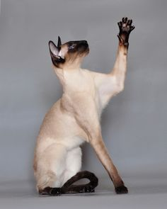 Just how long do you think I can hold this pose? The always elegant Siamese