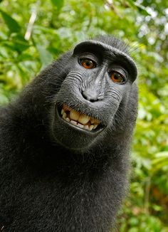 Selfie, Scimmia, Self Portrait, Macaca Nigra