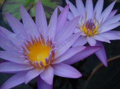 Nymphaea Lavender Lace