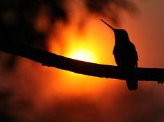 hummingbird - Costa Rica
