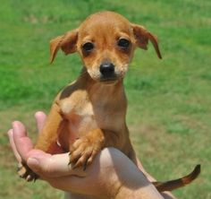 *** GREAT NEWS! *** I HAVE BEEN ADOPTED!!! Tippy is an adoptable Chihuahua Dog in Searcy, AR. Tippy is a 2 month old female Chihuahua/Min. Pin. mix. She is very sweet and loving....