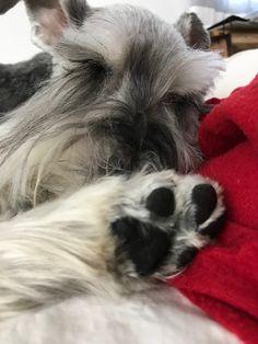 #3 #new #pinterest #dog #doglovers #love #like4like Mini Schnauzer, Miniature Schnauzer, The Perfect Dog, Four Legged, Dog Pictures, Duke, Cuddling, Cute Dogs, Sassy