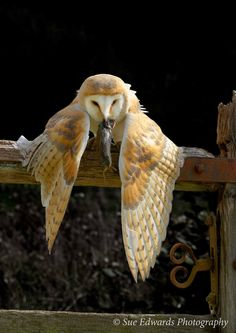 Barn Owl protecting its catch