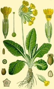 50 ml Botanical Name Primula veris Also known as Paigle, Key Flower, Fairy Cups, Palsywort and Mayflower Plant Part Used Flowers Herb To Liquid Ratio Alcohol by Volume Country of Origin UK/UK Vintage Botanical Prints, Botanical Drawings, Botanical Flowers, Botanical Art, Illustration Botanique, Primroses, Plant Painting, Nature Illustration, Poster