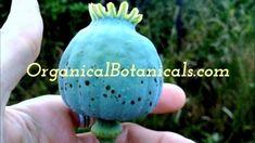 Papaver Somniferum Poppies   SEEDS by #OrganicalBotanicals Poppies, Garden Sculpture, Exotic, Seeds, Spices, Make It Yourself, Spice, Poppy, Grains