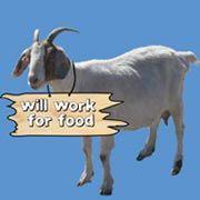 instead of pesticide - We Rent Goats