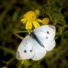 Pieris rapae by Ignasi Ramírez Butterfly Quilt, Butterfly Effect, Butterfly Kisses, Butterfly Wings, Sting Like A Bee, Float Like A Butterfly, Praying Mantis, Beautiful Butterflies, Moth