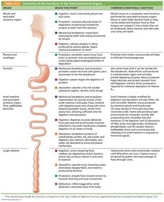 The Digestive System - awesome overview of the digestive system and the roles that each organ plays sling the way.