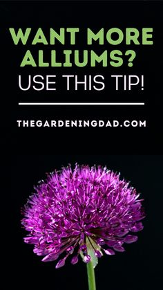 Do You Want More Alliums? Then Use THIS Tip! This article will teach you easy steps for Growing Alliums from seed, bulb, indoors, in your lawn, or even in your flower garden. #alliums #flowers #gardening Organic Gardening, Gardening Tips, Soil Improvement, Growing Vegetables, Cut Flowers, Lawn, Bulb, Herbs, Onions