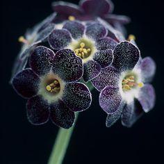 Auricula - purple black flower