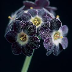 Auricula - purple black flower