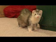 Ferret Attacks Camera!