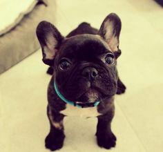 Source: batpigandme.tumblr.com  French Bulldog Puppy http://ift.tt/1t8CuU6 on Frenchie Friends Being Fuzzy via
