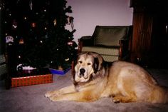 Tibetan Mastiff Rescue, Inc. - Lola's Rescue Success Story - Click on Pic
