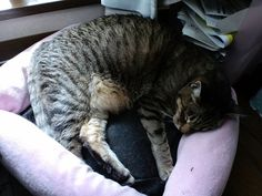Today's cat on 16th Apr. 2013 by ganchan2, via Flickr