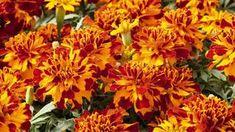 Výluh z aksamietnice proti škodcom - OZ Biosféra Sunken Garden, Greenhouse Growing, Patio Planters, Herb Seeds, Organic Seeds, Annual Plants, Flower Seeds, Orange Flowers, Gardens