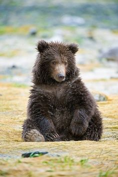 Cute little brown bear cub—probably a grizzly.