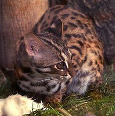 Leopard Cat:   Wild Cats of Sumatra « Azimuth