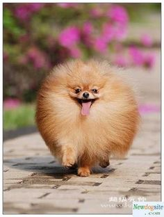 A live fur ball! Pomeranian puffball