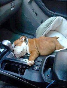 Bulldog Puppy Fell Asleep In The Car | Cute puppy and dog