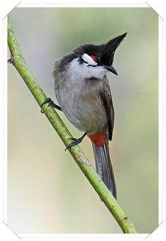 Kırmızı bıyıklı bülbül  (Pycnonotus jocosus)