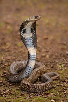 Cobra in all its beauty. - by Eurion Kemish When the snake spirit animal appears in your life, it likely means that healing opportunities, change, important transitions, and increased energy are manifesting. Beautiful Snakes, Animals Beautiful, Cute Animals, Les Reptiles, Reptiles And Amphibians, Beaux Serpents, Snake Spirit Animal, Indian Cobra, Rare Animals