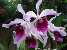 Lélia Púrpura (Laelia Purpurata)                                                                                                                                                                                 Mais
