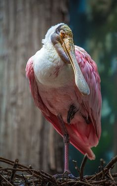 Roseate Spoonbill in her nest by alan shapiro photography, via Flickr