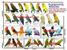 African Lovebirds Mutations All about african lovebirds! Rare Birds, Exotic Birds, Colorful Birds, Love Birds Pet, African Lovebirds, Bird Breeds, Bird Identification, Bird Aviary, Bird Poster