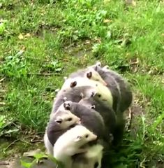 A possum mother walking along carrying her babies 🔥 - Welcome to our website, We hope you are satisfied with the content we offer. Amazing Animals, Animals Beautiful, Interesting Animals, Beautiful Babies, Cute Funny Animals, Cute Baby Animals, Animals And Pets, Cute Animal Videos, Cute Animal Pictures