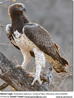 Eagles - large birds of prey