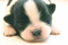 This #Chihuahua newborn is dreaming of dinnertime... Click here to see this cutie>>> http://www.fundogpics.com/dreamland-puppy-pictures.html