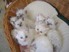Ragdoll Kittens - I want a rag doll cat!!!