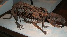 Skeleton of a Giant beaver (Castoroides ohioensis), an extinct genus of enormous beavers that lived in North America during the Pleistocene. (Field Museum of Natural History in Chicago)