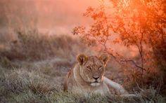 Lioness, wildlife, Africa, savannah, lions