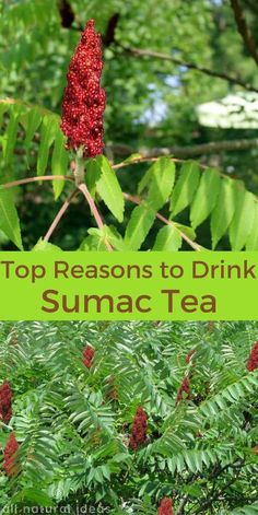 Staghorn sumac tea has been used for thousands of years. Research studies confirm the tea is useful for treatment of ailments like diabetes. Healing Herbs, Medicinal Plants, Natural Healing, Wound Healing, Herbal Remedies, Natural Remedies, Edible Wild Plants, Herbs For Health