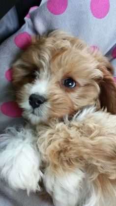 Tilly the cavapoo - Tilly? Thats my dogs name! Cute Dogs And Puppies, Pet Dogs, Dog Cat, Doggies, Cavapoo Puppies, Cockapoo, Cavachon, Goldendoodles, Cute Baby Animals