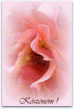 KÖSZÖNÖM KÉPESLAPOK - tanitoikincseim.lapunk.hu Happy Birthday Greetings, Birthday Wishes, Thankful, Flowers, Plants, Roses, Photography, Design, Special Birthday Wishes