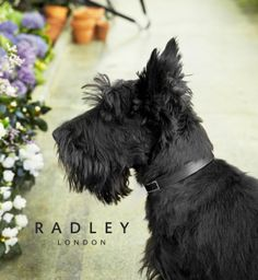 Scottie dog in the greenhouse at the SS14 campaign shoot for Radley London #radleylondon #radleyhandbags www.radley.co.uk