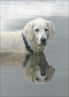 A cream-colored dog, possibly a retriever. He's standing in water.