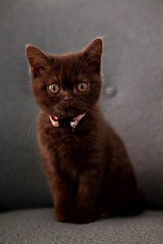 Beautiful brown Kitty.